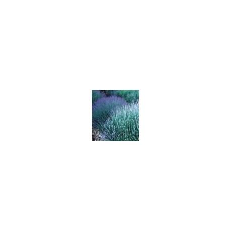 Lavande fine Lavandula officinalis 15 ml chémotypé 100% pure.