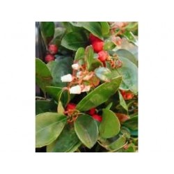 Wintergreen Gaultheria procumbens 15 ml chémotypé 100% pure.