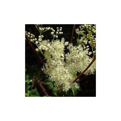 Reine des prés plante (Ulmaire) 250 g POUDRE Spiraea ulmaria