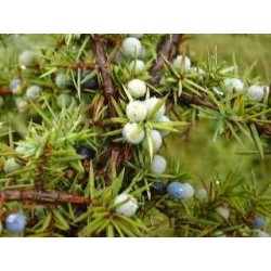 Genévrier Juniperus communis 15 ml chémotypé 100% pure.