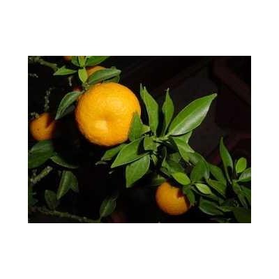 Petit grain bigaradier Citrus aurantium 15 ml chémotypé 100% pur