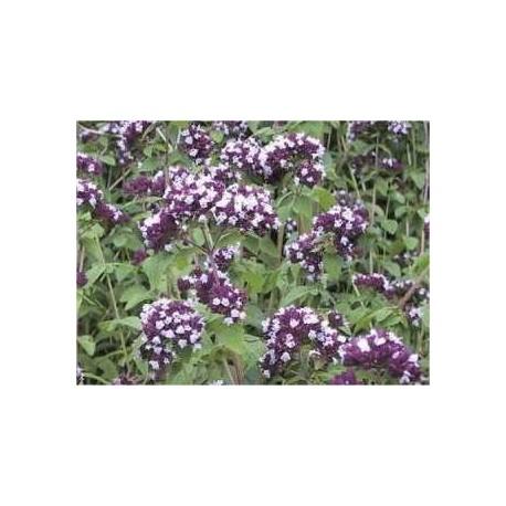 Marjolaine vivace Origanum majorana 15 ml chémotypé 100% pure.