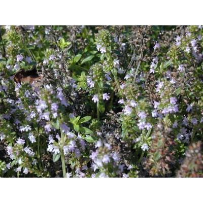 Serpolet tige fleurie 250 g POUDRE thymus serpyllum