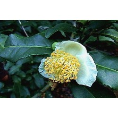 Thé vert 1 Kg POUDRE Thea sinensis