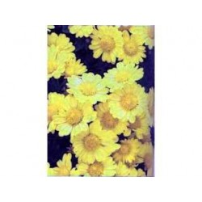 Chrysantellum americanum 100 g POUDRE Chrysantellum americanum