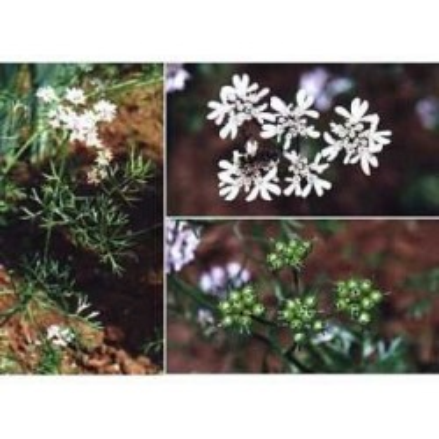 Coriandre fruit 250 g POUDRE Coriandrum sativum