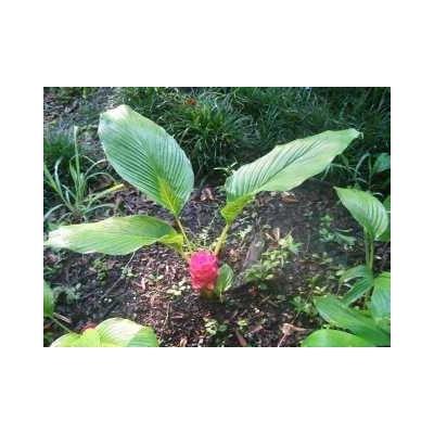 Curcuma rhizome 1 Kg POUDRE Curcuma longa