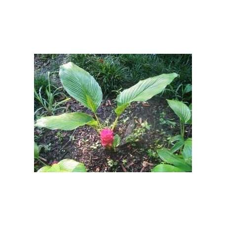 Curcuma rhizome 250 g POUDRE Curcuma longa