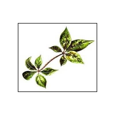 Eleutherocoque (Ginseng de Sibérie) racine 1 Kg POUDRE Eleuthero