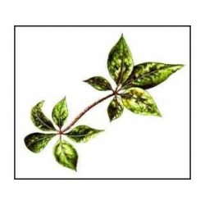 Eleutherocoque (Ginseng de Sibérie) racine 250 g POUDRE Eleuther
