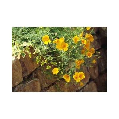Eschscholtzia plante (Pavot de Californie) 250 g POUDRE Eschscho
