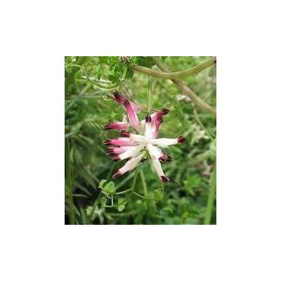 Fumeterre plante 1 Kg POUDRE Fumaria officinalis