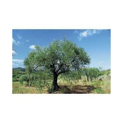 Olivier feuille 250 g POUDRE Olea europaea