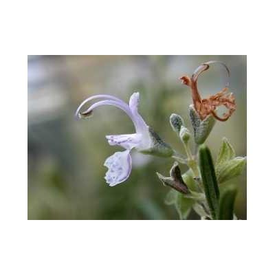 Romarin feuille 250 g POUDRE Rosmarinus officinalis