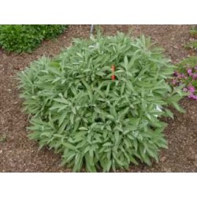 Sauge officinale 1 Kg POUDRE Salvia officinalis