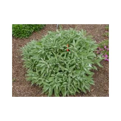 Sauge officinale 250 g POUDRE Salvia officinalis