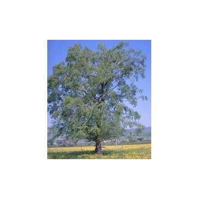 Saule écorce 1 Kg POUDRE Salix alba