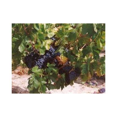 Vigne rouge feuille 1 Kg POUDRE Vitis vinifera