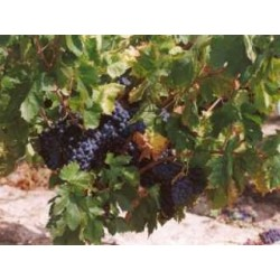 Vigne rouge feuille 250 g POUDRE Vitis vinifera