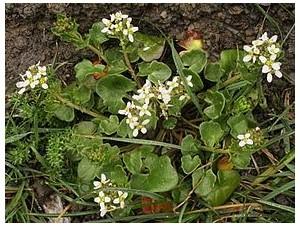 La cochléaire, une plante aux actions antiseptiques