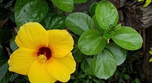 Hibiscus, la plante aux multiples vertus