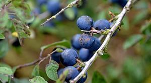 Le prunellier, une plante d'ornement aux propriétés variées